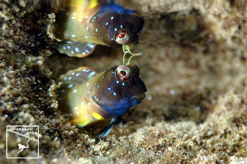 沖縄本島 タイドプール撮影 ロウソクギンポ 婚姻色 水中写真