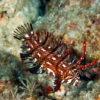 沖縄本島 ダイビング で 撮影した オビテンスモドキ 若魚 の 水中写真 ( 90mm SL )