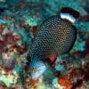 沖縄本島 ダイビング で撮影した オビテンスモドキ の 水中写真 ( 18cm SL )