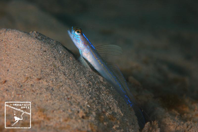 沖縄本島 ダイビング で撮影した クサハゼ の 水中写真 ( 7cm TL )
