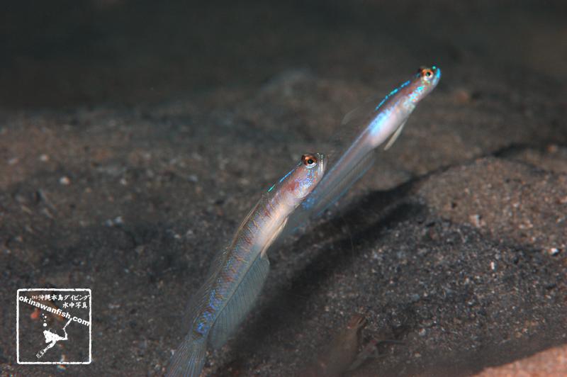 沖縄本島 ダイビング で撮影した ツバメクサハゼ の 水中写真 ( 7cm TL )