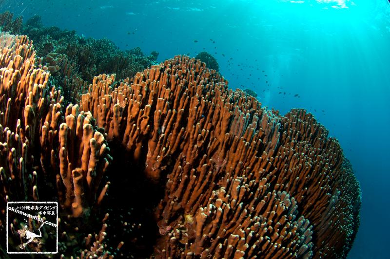 沖縄県 名護市 辺野古沖 アオサンゴ 群落 水中写真