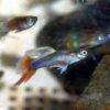 沖縄本島 の河川で捕獲した グッピー 雄 ♂ の 水中写真