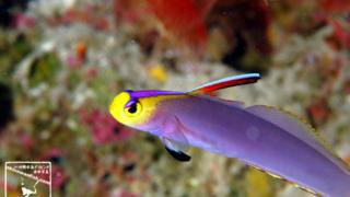 沖縄本島 ダイビング で撮影した シコンハタタテハゼ ( ヘルフリッチ ) の 水中写真 (8cm SL)