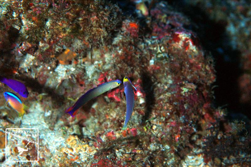 沖縄本島 ダイビング で撮影した シコンハタタテハゼ ( ヘルフリッチ ) と アケボノハゼ の 喧嘩シーン 水中写真