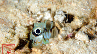 沖縄本島のダイビングで撮影したメガネアゴアマダイの水中写真