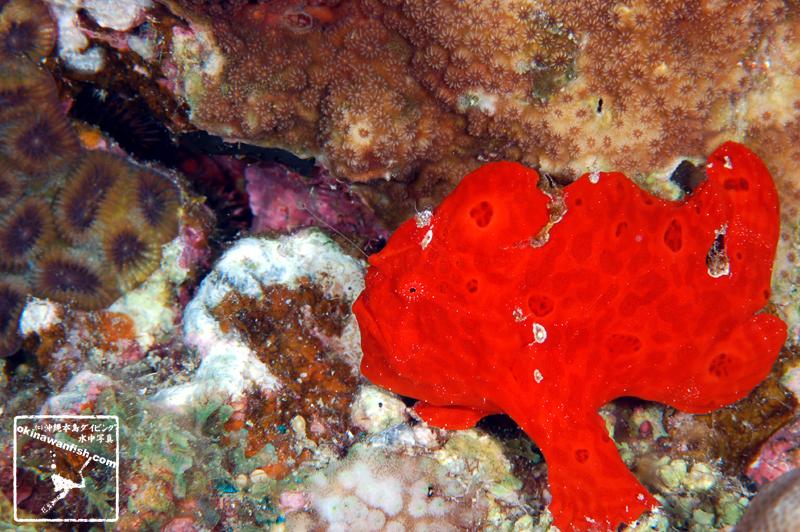 沖縄本島ダイビングで撮影した 水中写真 ( オオモンカエルアンコウ ) 3cm SL