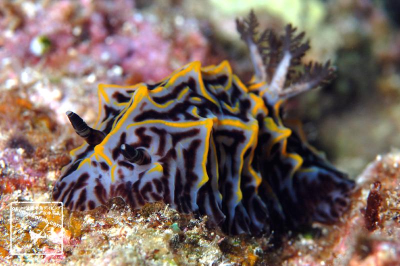パイナップルウミウシ 水中写真 ウミウシ seaslug Halgerda willeyi 沖縄ダイビング