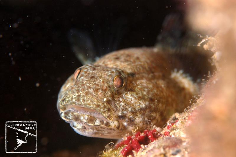 沖縄ダイビング 水中写真 ヤハズハゼ Bathygobius cyclopterus 沖縄本島 タイドプール 干潟 ハゼ underwaterphotography