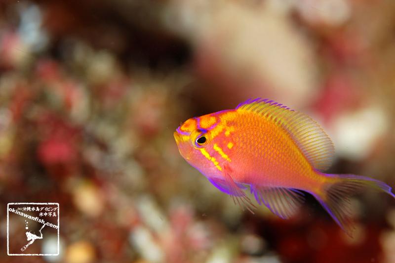 ハナゴンベ 幼魚 yg Hawkfish anthias Serranocirrhitus latus スズキ目 - ハタ科 - ハナゴンベ属