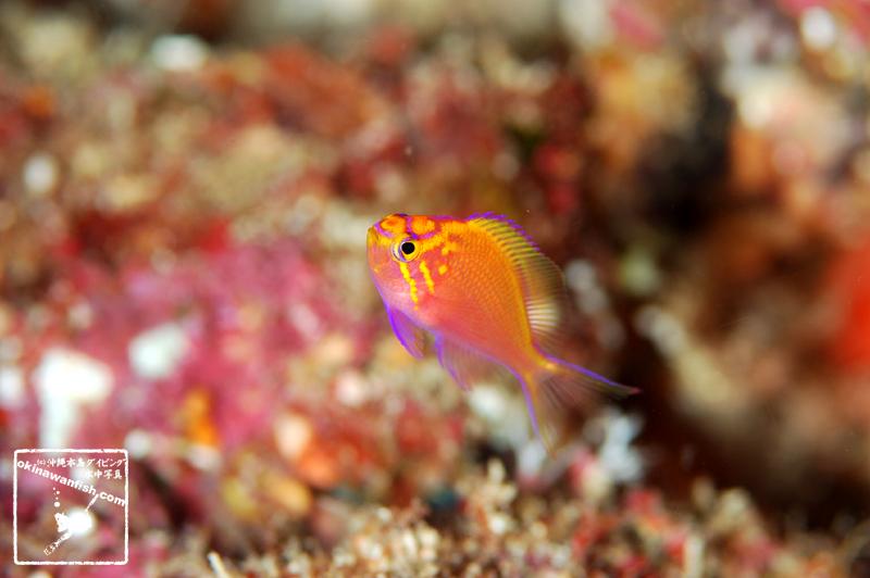 ハナゴンベ 幼魚 水中写真 沖縄 ダイビング