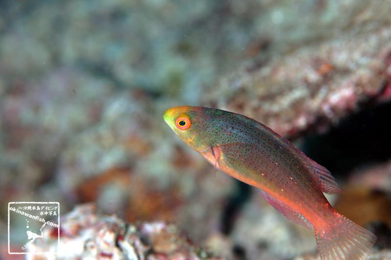 トモシビイトヒキベラ 雌相