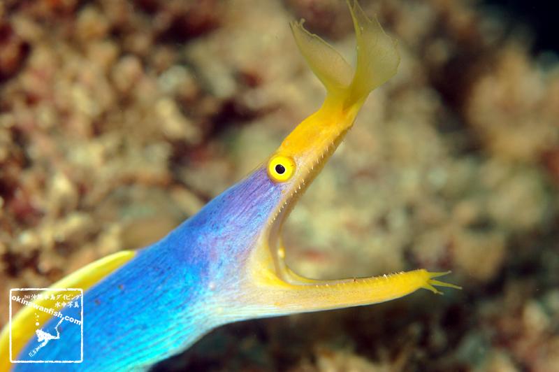 ハナヒゲウツボ 沖縄本島のダイビングで撮影したハナヒゲウツボ成魚の水中写真