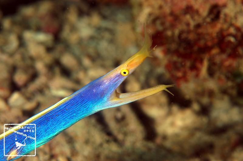 ハナヒゲウツボ 成魚 沖縄本島のダイビングで撮影した水中写真
