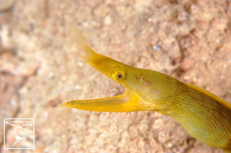 ハナヒゲウツボ 青みがかった老成魚 沖縄本島のダイビングで撮影した水中写真