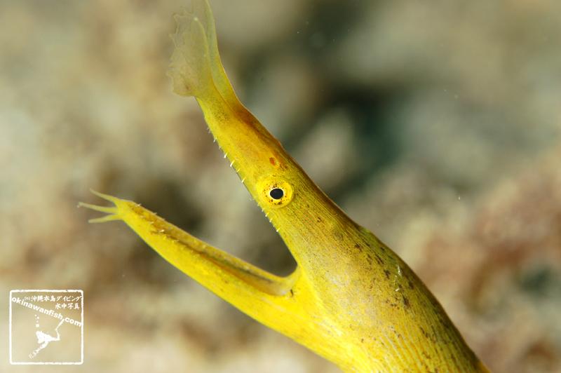 ハナヒゲウツボ 黄色い老成魚 沖縄本島のダイビングで撮影した水中写真