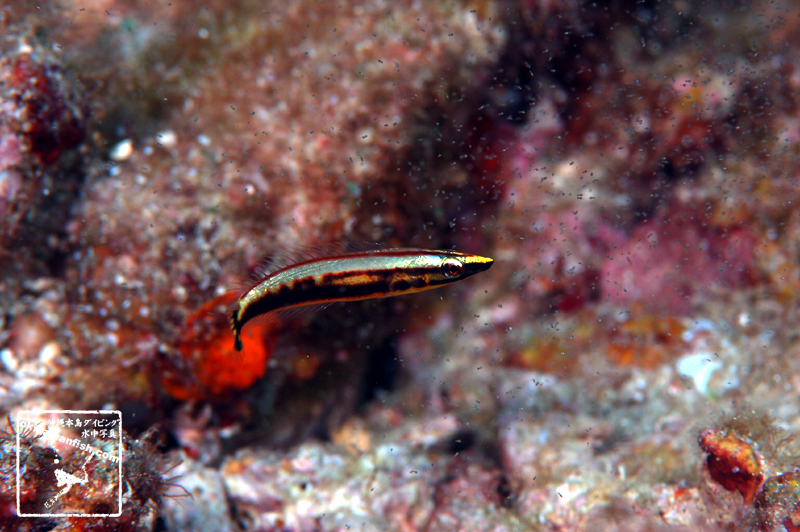 沖縄本島のダイビングで撮影した ナメラベラ 幼魚 水中写真