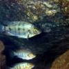 ティラピア 沖縄本島の河川で撮影したティラピア(カワスズメ)の水中写真
