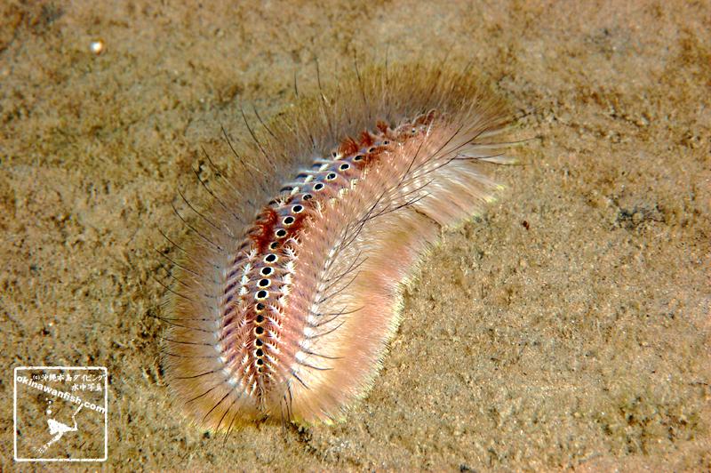 沖縄本島のダイビングで撮影した「ウミケムシ」の水中写真