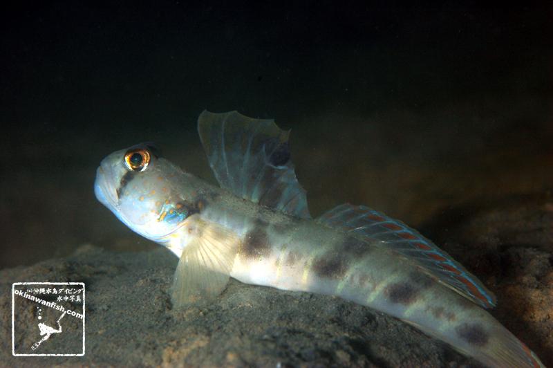 ウシオニハゼ:沖縄本島のダイビングで撮影した「ウシオニハゼ」の水中写真