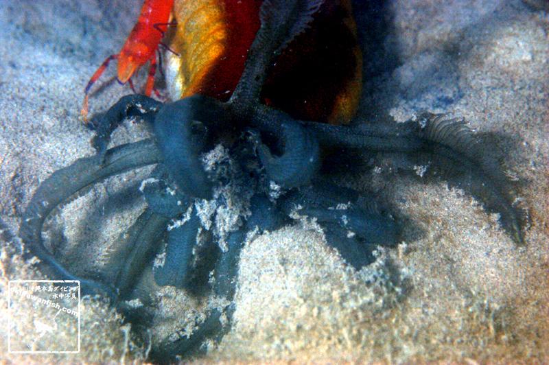 クレナイオオイカリナマコ Opheodesoma sp. 沖縄