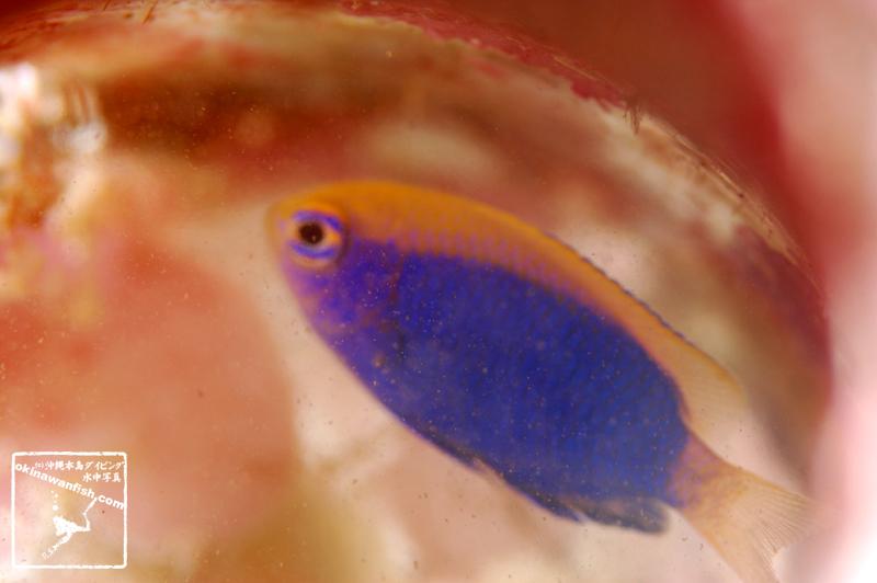 沖縄本島のダイビングで撮影した「セナキルリスズメダイ」の水中写真