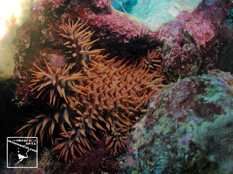オニヒトデ 沖縄本島のダイビングで撮影した「オニヒトデ」の水中写真