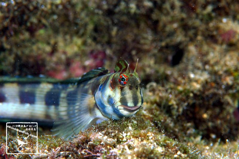 ホホグロギンポ 沖縄本島 西海岸のタイドプールで撮影した水中写真