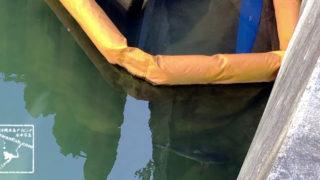 国際通りを流れる川を泳ぐオオメジロザメの幼魚
