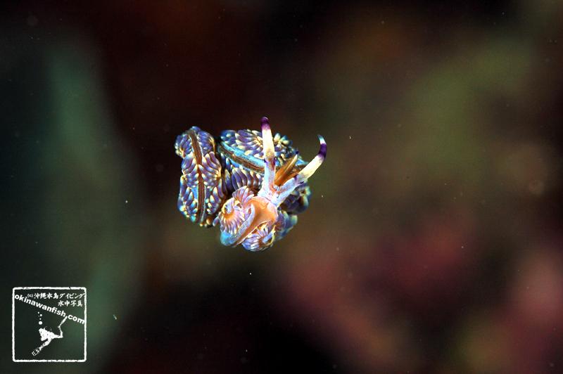 ムカデミノウミウシ 沖縄本島のダイビングで撮影した水中写真