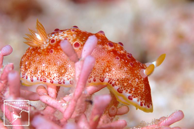 沖縄ダイビングで撮影したヒャクメウミウシの水中写真