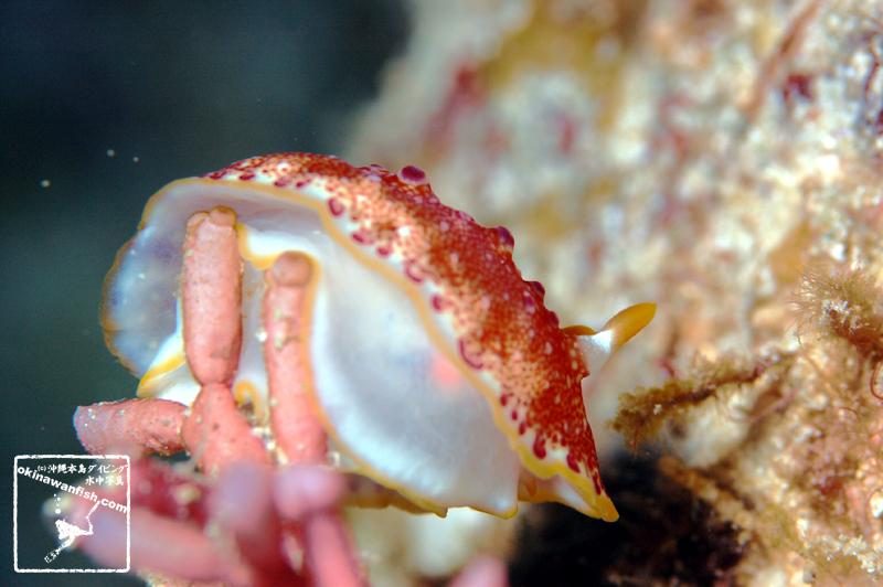 沖縄本島のダイビングで水中撮影したヒャクメウミウシの水中写真