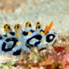 沖縄本島のダイビングで撮影した「キイロイボウミウシ」の水中写真