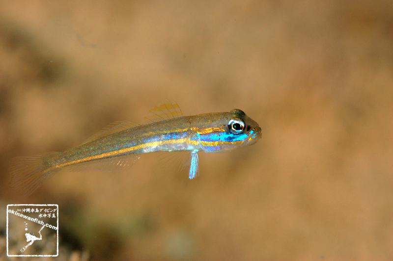 サオトメハゼ 幼魚