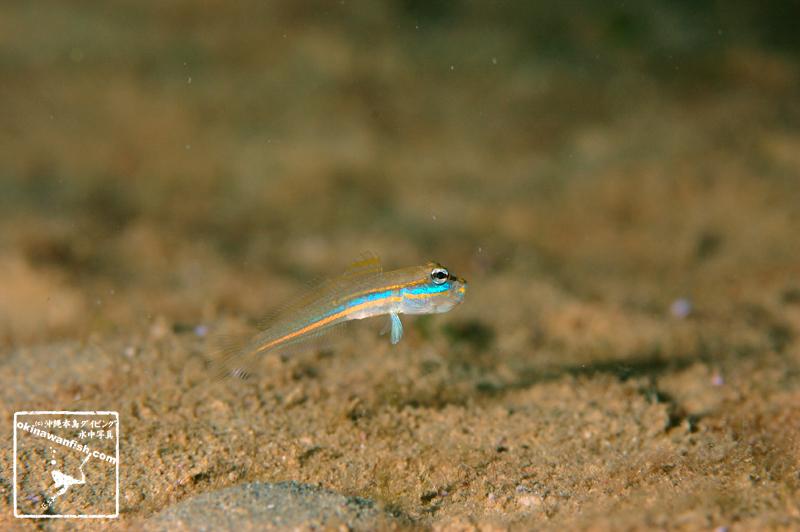 サオトメハゼの幼魚 アクビシーン