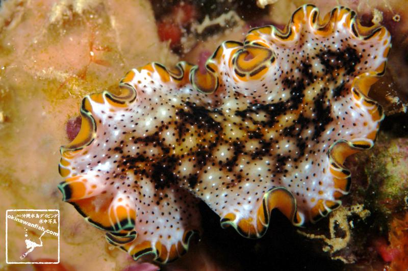 Pseudoceros leptostichus