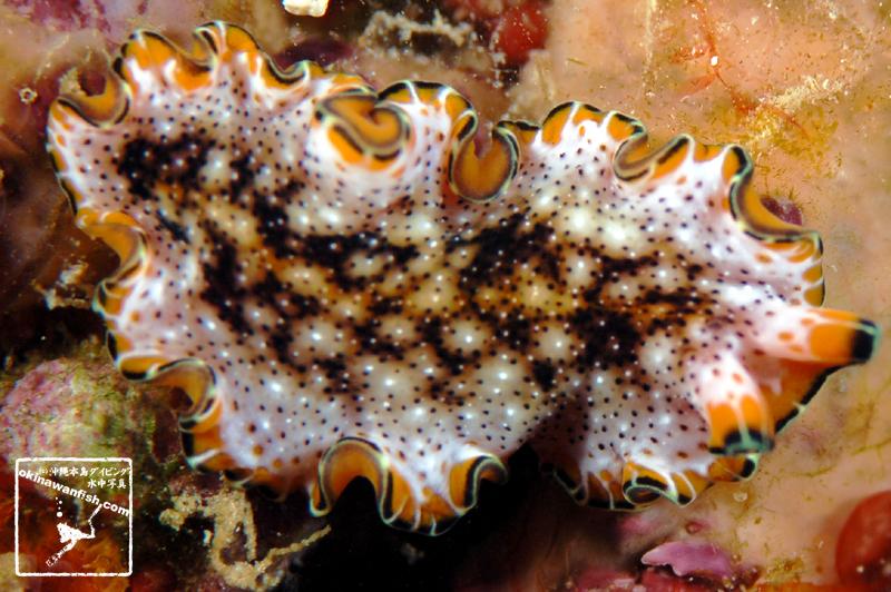 ヒラムシ – プセウドケロス・レプトスティクス ( Pseudoceros leptostichus )