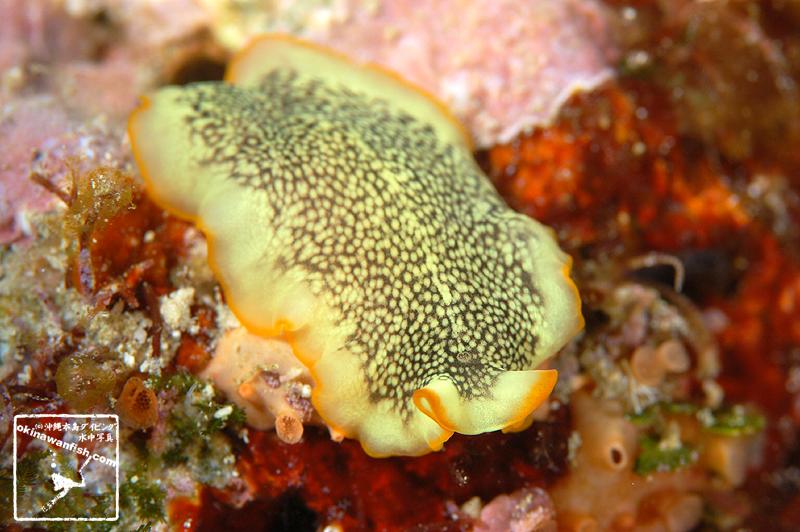 プセウドケロス SP ( Pseudoceros sp. )