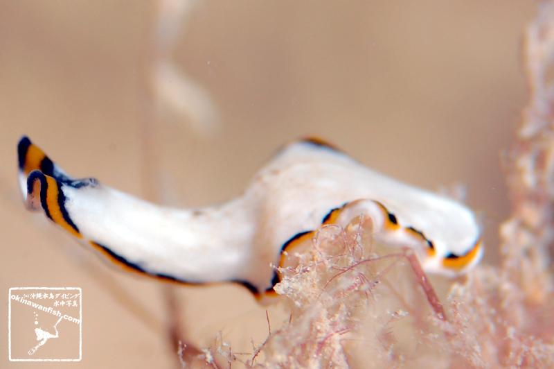 プセウドケロス・コンフスス - Pseudoceros confusus