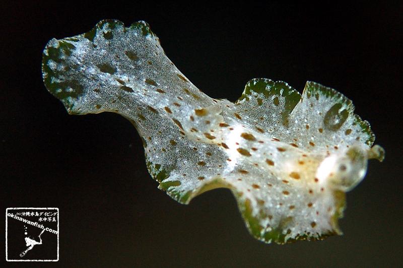 アスキディオフィラ・アルバ ( Ascidiophilla alba )