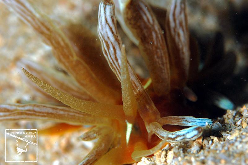 アカクセニアウミウシ 頭部正面