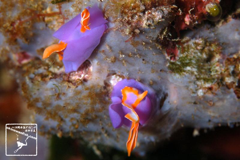 ムラサキウミコチョウ 沖縄本島のダイビングで撮影した水中写真