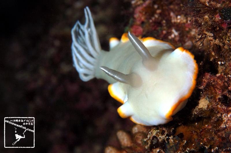 メレンゲウミウシ Ardeadoris egretta