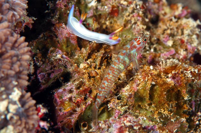 ゾウゲイロウミウシ Hypselodoris bullockii