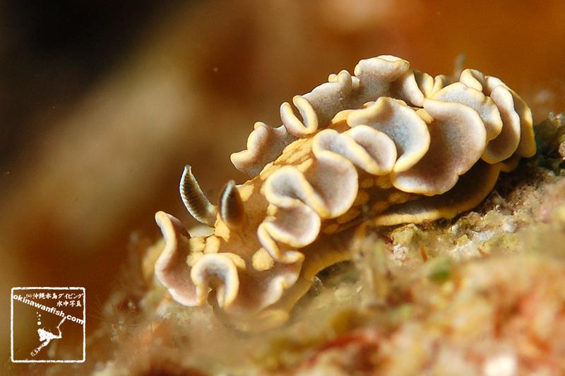 キンゴマイロウミウシ