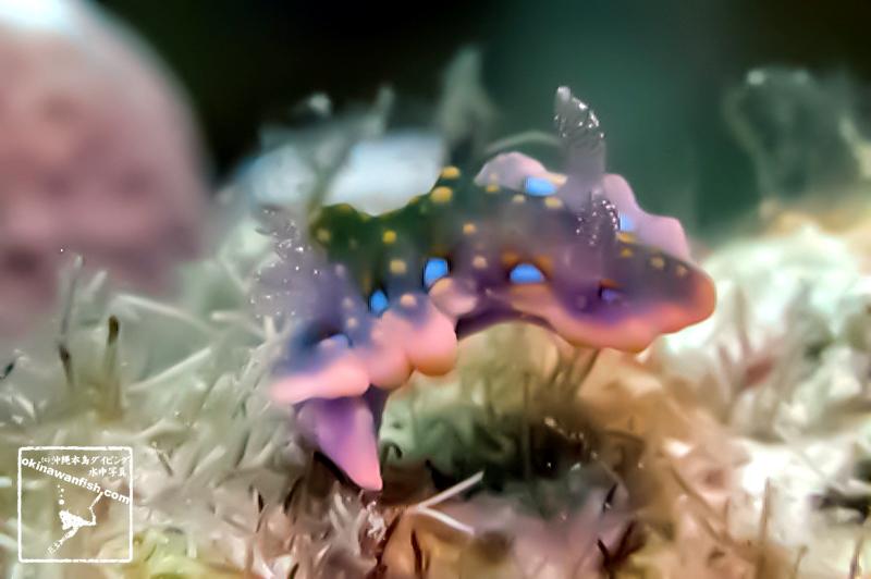 ヨセナミウミウシ