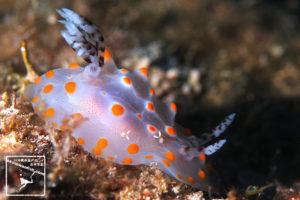 沖縄本島のダイビングで撮影したコンペイトウウミウシの水中写真