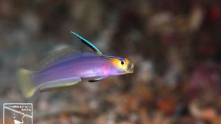 沖縄本島 ダイビング で撮影した ヘルフリッチ ( シコンハタタテハゼ )の 水中写真 (8cm SL)