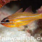 イトタマガシラ幼魚