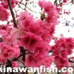 カンヒザクラ(寒緋桜)(ヒカンザクラ)